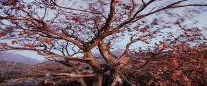 מלבניעץ