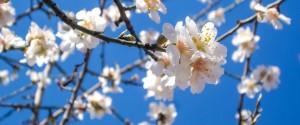 מלבניalmond-blossom