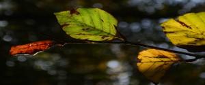 Beech-leafs free size מלבני